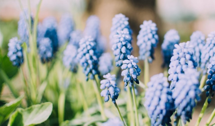Grape hyacinth growing in a Hampshire garden