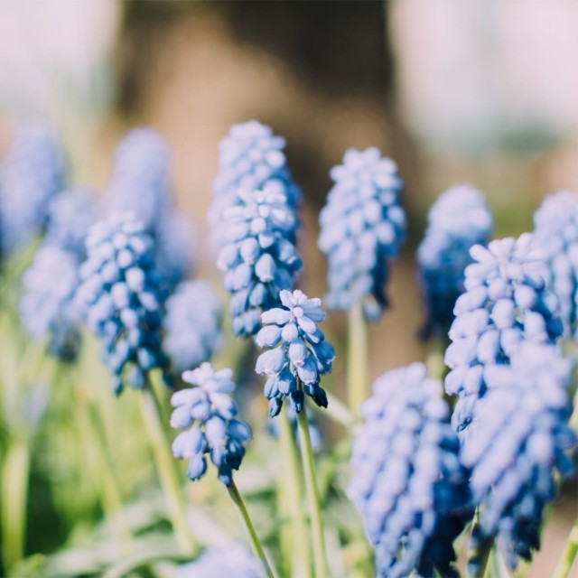 Grape hyacinth in flower at a Hampshire garden